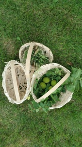 Baskets made by participants in Wild Herb Week I, July 2015, filled with herbs we gathered for making tinctures and medicinal oils.